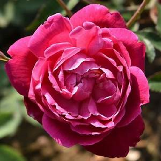 Louis Philippe rose is an old fashioned rose, one of the many varieties of roses that will be for sale at Goodwood Museum & Gardens on Saturday.