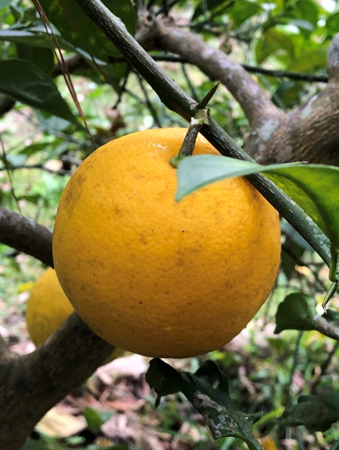 Meyer Lemons Are A Wonderful Backyard Citrus