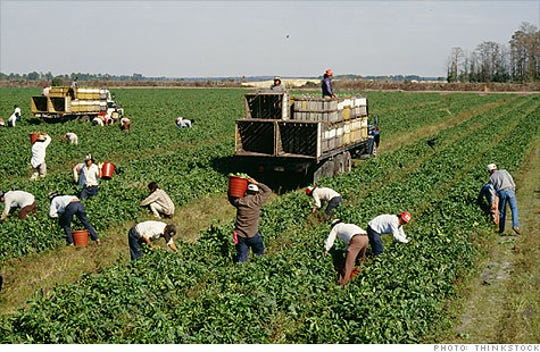 Farmworkers working in a California field.