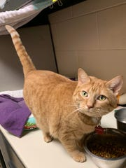 Nala is a 4 1/2-year-old orange tabby who can be reserved and scared by a lot of activity. She is healthy and needs a quiet home where she can warm up to people on her own terms.