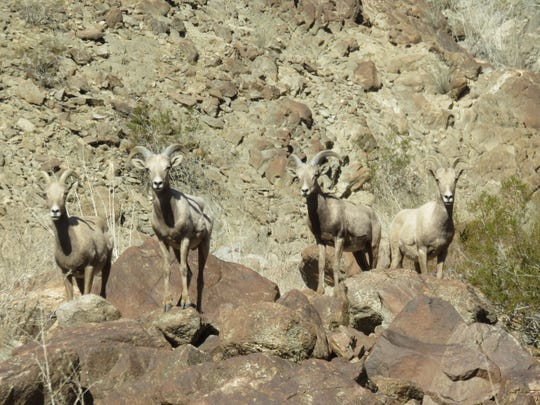 These yearling rams and ewes have been spotted roaming the mountains above the Coachella Valley.