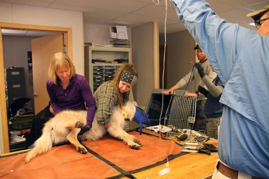 Biologists prepare to load a 1-year-old Mexican gray wolf pup into a crate for release near his pack. The pup was examined for general health during the annual Mexican gray wolf count on Feb. 1, 2020, in the Apache-Sitgreaves National Forests near Alpine.