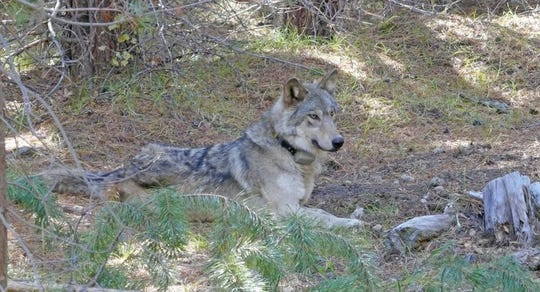 The gray wolf known as OR-54 was found dead in Shasta County on Wednesday.