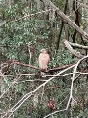 """Orange-breasted hawk"" on the Wakulla River."