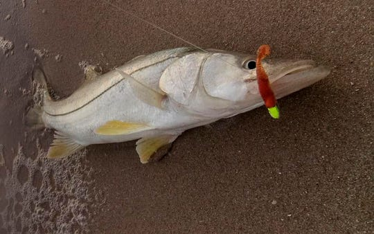 A slot-sized snook reeled in by Joe Rimkus of Vero Beach comes ashore after falling for a Bass Assassin Sea Shad with the copper penny tail.
