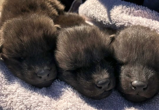 Three maned wolf pups were born at the Abilene Zoo in January 2020.