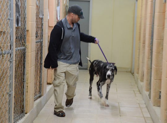 Calhoun County Animal Center Manager Tom Buford with the Great Dane found abandoned Wednesday.