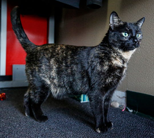 Charlie, a spayed 4-year-old female cat looks out a window Friday, Feb. 7, 2020, at the Oshkosh Area Humane Society. She has been at the humane society three years.