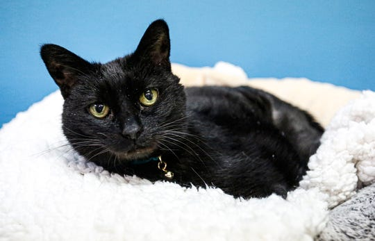 Rosita lies in a bed Friday, Feb. 7, 2020, at the Oshkosh Area Humane Society. She is a 14-year-old black spayed female cat that has been at the humane society since October 2018.