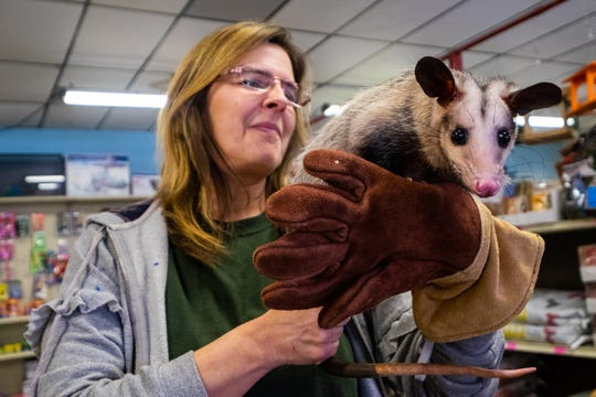 Christina Kinde, owner of Timber Creek Petting Farm, holds Ella, a black-eared opossum, Friday, Feb. 7, 2020, at Farmer Jahn's Feed and Seed LLC in Croswell. Kinde will be hosting a fundraiser at the store Sunday, Feb. 16 at 1:30 p.m.