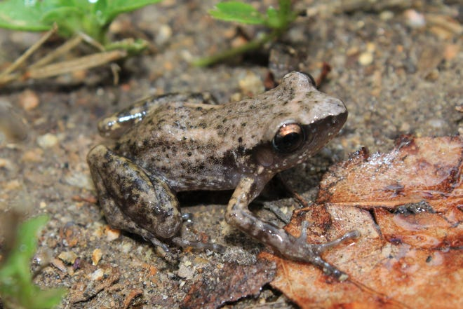 Although once found mainly around Houston, the Rio Grande chirping frog now occurs in most suburban areas of the eastern half of Texas, due to its propensity for hitchhiking on potted plants.