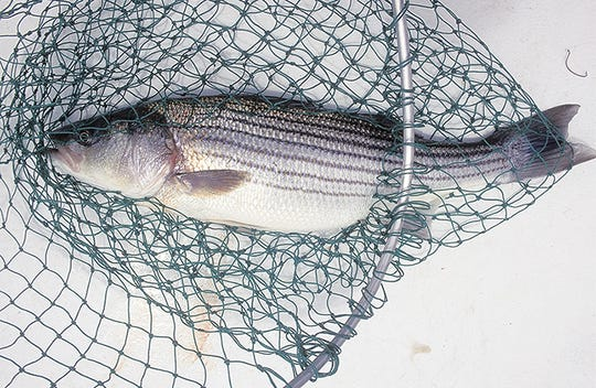 East Coast fishery managers have called for an 18% reduction in the mortality of striped bass because of a worrisome decline in their population.