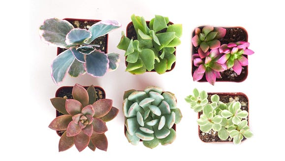 Treat yourself to some new desktop succulents.