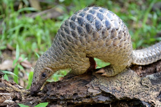 In this file photo taken on June 30, 2017, a juvenile Sunda pangolin feeds on termites at the Singapore Zoo.