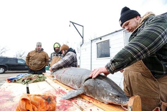Thomas Abendroth, Michael Lant, Zach Mohr and Logan Tabat process a 98.2 pound, 71 inch sturgeon Saturday, February 8, 2020 at the Critters Sporting Goods DNR weigh station in Winneconne, Wis. The 2020 sturgeon spearing season on runs February 8 - 23. Doug Raflik/USA TODAY NETWORK-Wisconsin