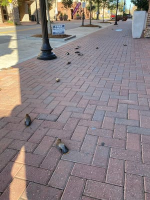 More than two dozen birds were found dead at the intersection of Jefferson and Intendencia streets on Friday.