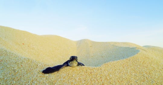 "Baby Bjuni climbs a sand dune in ""Turtle Odyssey."" The film opens Feb. 14 at Challenger Learning Center IMAX. Turtle Odyssey will be showing regularly for three  months at $6-8 per ticket."