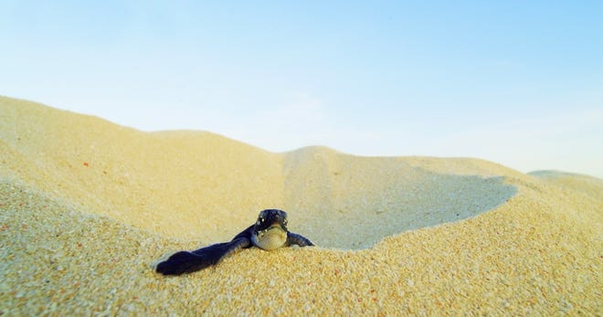 """Baby Bjuni climbs a sand dune in """"Turtle Odyssey."""" The film opens Feb. 14 at Challenger Learning Center IMAX. Turtle Odyssey will be showing regularly for three  months at $6-8 per ticket."""