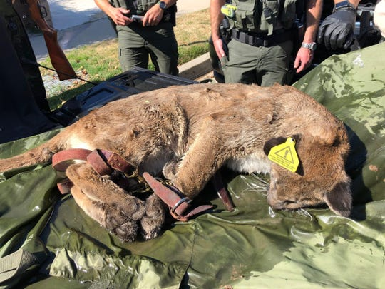 This tranquilized mountain lion was captured and tagged in a Simi Valley neighborhood Saturday by California Department of Fish and Wildlife officials. It will be released back to natural habitat north of the city.