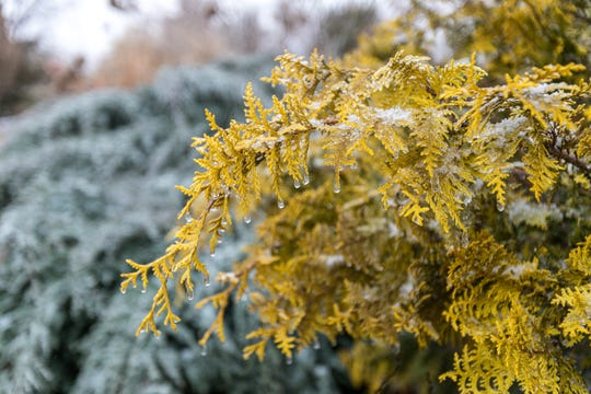 Evergreens come in many shades and offer a pop of color during the year's darkest months.