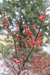 Berries offer a shot of brilliant color against snowy or gray backdrops.