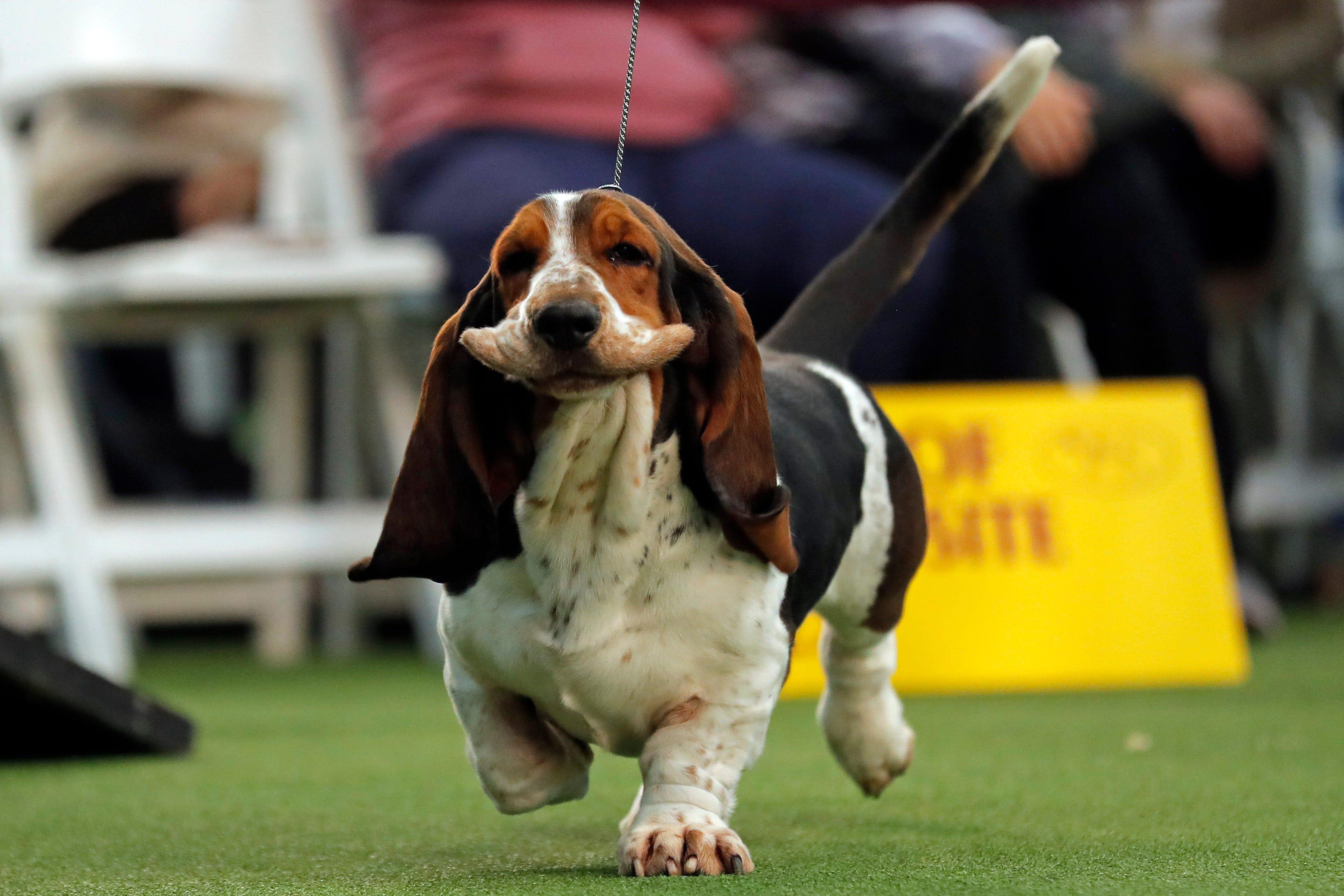 Westlake Legal Group 84f3c049-9670-4622-807e-c6788f12d105-USP_News-_Westminster_Kennel_Club_Dog_Show.2 Westminster Dog Show