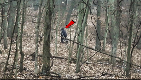 Pictured is an image of what some believe is Bigfoot at Salt Fork State Park