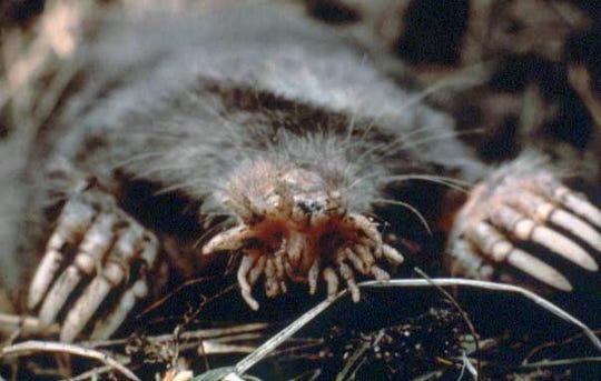 The Star-nosed Mole is a one of nature's oddities.