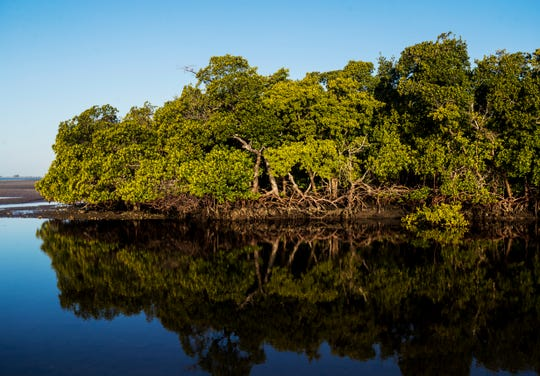 Red mangroves create a buffer and habitat for oysters, fish and other marine life at Bunche Beach.
