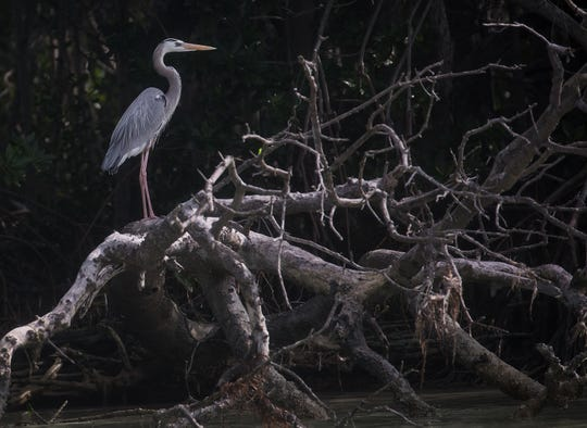A great blue heron perches in mangroves in Florida Bay in Everglades National Park.