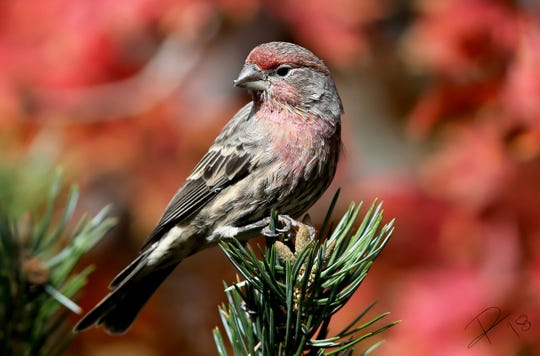 A house finch matches his background. He is just one of the many species members of the Lincoln County Bird Club enjoy spotting around Ruidoso. The club is gathering for a luncheon Feb. 18, and invited others who are interested in birds.