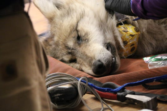 A 1-year-old wolf pup is examined for general health during the annual Mexican gray wolf count on Feb. 1, 2020, in the Apache National Forest near Alpine.