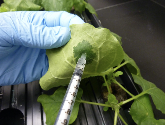 An ASU worker injects a plant for vaccine development research. Three experts at ASU are working on developing a vaccine against the new coronavirus.