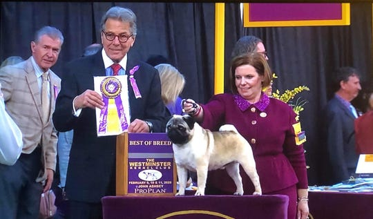 Charm, a pug owned by Linda Whalin of Yerington, was named best of breed Monday at the Westminster Dog Show.