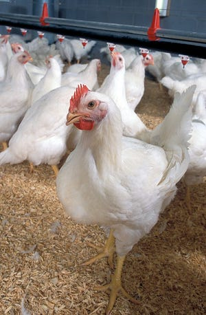 A study produced by the USDA says reusing chicken litter can deter Salmonella growth, rather than encourage it.