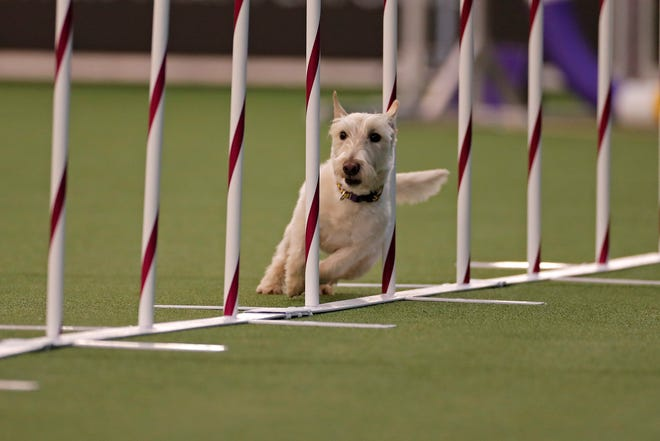 Pickles, a Scottish Terrier, competes at the agility competition during the 144th Annual Westminster Kennel Club Dog Show.