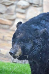 Teddy, an American black bear, came to the Abilene Zoo on Sept. 12, 2000. He was 28 years old when he was euthanized Monday because of unmanageable pain and loss of mobility due to arthritis, the zoo said.