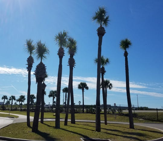 These sabal palms have lost their crowns to over-pruning.