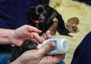 Sudie, the momma dog, watches with wary eyes as Jessa McCaula, foster mom and office manager for Spencer County It Takes a Village, bottle feeds one of two kittens that Sudie has taken in as one of her own Tuesday, February 11, 2020.