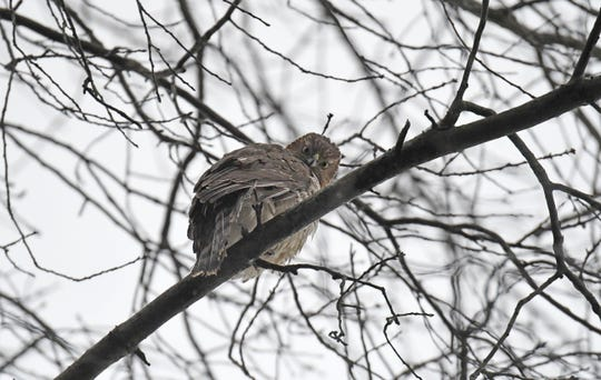 A red-tailed hawk has taken up residence high above Abbeyfeale Road in Mansfield.