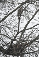 A red-tailed hawk is perched above a nest in a tree on Abbetfeale Road on Tuesday morning. Jason J. Molyet/News Journal