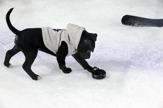 Bender makes his debut on ice during the Milwaukee Admirals practice Tuesday. The team dog also turned 9-weeks-old Tuesday.