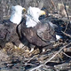 A screen capture of the the bald eagles in the nest near Codorus State Park