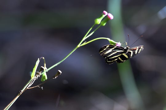 The zebra longwing butterfly, the state butterfly of Florida, is one of the many insects that can be viewed along the three miles of walking trails of the Lagoon Greenway in Indian River County. The 187-acre preserve is developed by the Indian River Land Trust along with the Indian River County Commissioners, the Mosquito Control District and the Florida Inland Navigation District.