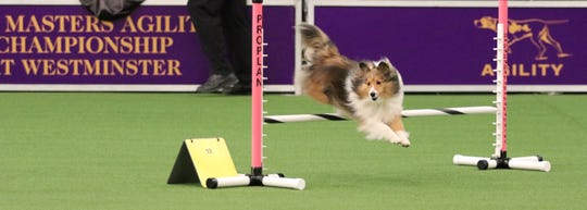 Pippa, a Shetland sheepdog, competes at the Westminster Dog Show on Saturday. The 8-year-old from Wilmington earned a double Q (qualifying) score and a third place in Jumpers With Weaves.