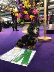Mo, a dachshund, competed at the Westminster Kennel Show on Saturday in agility. He earned a fourth place ribbon in his jump height on one of his runs and a qualifying ribbon for a perfect run.