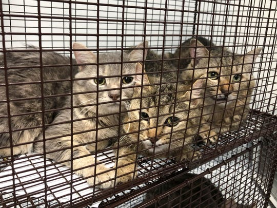 Animal Rescue League of Iowa workers rescued 74 cats from a Des Moines home Tues., Feb. 12, 2020.