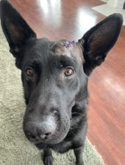 A photo shared by the Saginaw Police Department on Facebook shows Saginaw K-9 Deebo with purple stitches after being stabbed on Sunday, Feb. 9, 2020 during a call to a residence. Police say they shot and killed suspect Zane G. Blaisdell, 48, after he stabbed the dog. Michigan State Police is investigating.