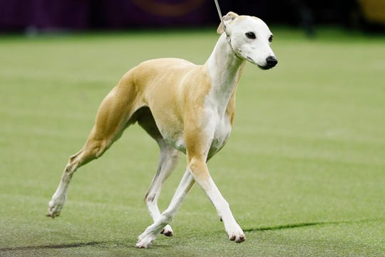 Bourbon, the whippet, competes during the 144th Westminster Kennel Club dog show, Tuesday, Feb. 11, 2020, in New York.
