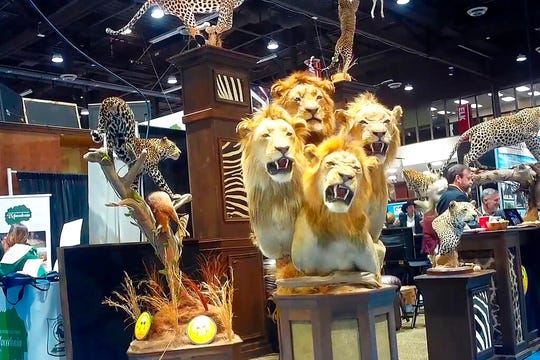 A four-lion taxidermy at the Safari Club International's 2020 annual convention, that was held Feb. 5-8, 2020, in Reno, Nevada.